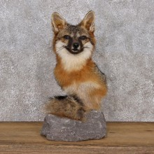 Gray For Pedestal Taxidermy Mount #10846 For Sale @ The Taxidermy Store