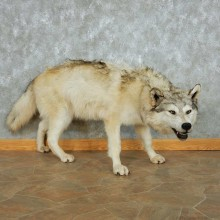 Gray Timber Wolf Life Size Mount #13540 For Sale @ The Taxidermy Store
