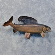 Arctic Grayling Fish For Sale #12213 For Sale @ The Taxidermy Store