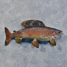 Arctic Grayling Fish For Sale #12214 For Sale @ The Taxidermy Store