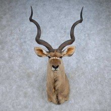 African Kudu Shoulder Mount For Sale #14812 @ The Taxidermy Store