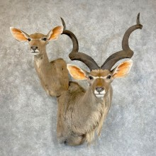 Greater Kudu Pair Taxidermy Shoulder Mount For Sale