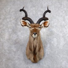 Greater Kudu Shoulder Mount For Sale #18611 @ The Taxidermy Store