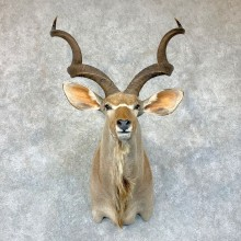Greater Kudu Shoulder Mount For Sale #22895 @ The Taxidermy Store
