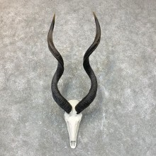 Greater Kudu Skull European Mount For Sale #23717 @ The Taxidermy Store