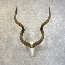 Greater Kudu Skull European Mount For Sale #25168 @ The Taxidermy Store