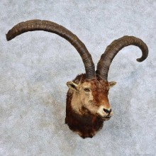 Gredos Ibex Taxidermy Shoulder Mount For Sale