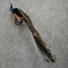 Indian Peacock Bird Mount For Sale #16063 @ The Taxidermy Store