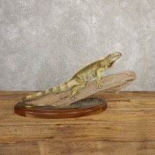 Green Iguana Mount For Sale #20657 @ The Taxidermy Store