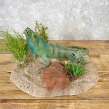 Green Iguana Mount For Sale #25060 @ The Taxidermy Store