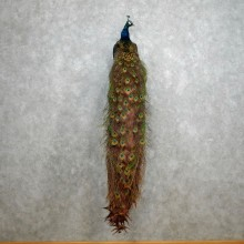Indian Peacock Bird Mount For Sale #18047 @ The Taxidermy Store