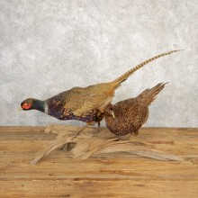 Green Pheasant Pair Taxidermy Mount #20628 For Sale @ The Taxidermy Store