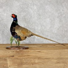 Green Pheasant Taxidermy Mount  #19473 For Sale @ The Taxidermy Store