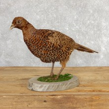 Green Pheasant Taxidermy Mount  #19787 For Sale @ The Taxidermy Store