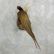 Green Pheasant Taxidermy Mount  #17667 For Sale @ The Taxidermy Store