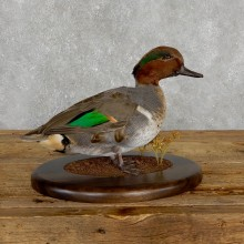 Green Winged Teal Duck Bird Mount For Sale #19491 @ The Taxidermy Store