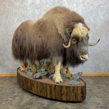 Greenland Muskox Life Size Mount #23714 For Sale @ The Taxidermy Store