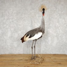 Grey-Crowned Crane Bird Mount For Sale #18785 - The Taxidermy Store
