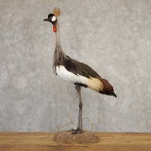 Grey-Crowned Crane Bird Mount For Sale #20709 - The Taxidermy Store