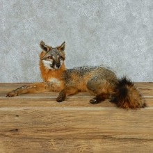 Gray Fox Life Size Taxidermy Mount #13699 For Sale @ The Taxidermy Store