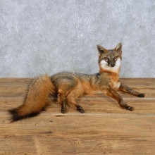 Gray Fox Life-Size Mount For Sale #14980 @ The Taxidermy Store