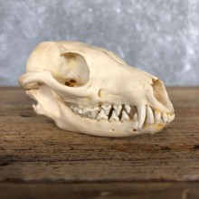 Grey Fox Full Skull Mount For Sale #19835 @ The Taxidermy Store