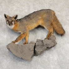 Grey Fox Life-Size Mount For Sale #18912 @ The Taxidermy Store
