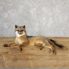 Grey Fox Life-Size Mount For Sale #19046 @ The Taxidermy Store