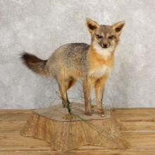 Grey Fox Life-Size Mount For Sale #20659 @ The Taxidermy Store