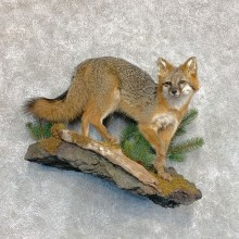 Grey Fox Life-Size Mount For Sale #22573 @ The Taxidermy Store