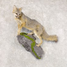 Grey Fox Life-Size Mount For Sale #22587 @ The Taxidermy Store