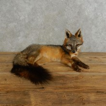 Grey Fox Life-Size Mount For Sale #17195 @ The Taxidermy Store