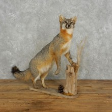 Standing Gray Fox Life Size Taxidermy Mount #17383 For Sale @ The Taxidermy Store