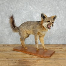 Grey Fox Life-Size Mount For Sale #18011 @ The Taxidermy Store