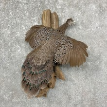 Grey Peacock Pheasant Taxidermy Bird Mount For Sale