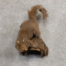 Grey Squirrel Life-Size Mount For Sale #21026 @ The Taxidermy Store