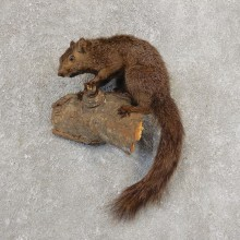 Grey Squirrel Life-Size Mount For Sale #21158 @ The Taxidermy Store