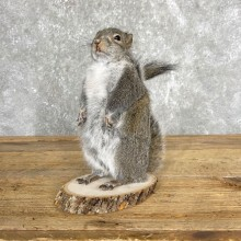 Grey Squirrel With Nut Life-Size Taxidermy Mount For Sale