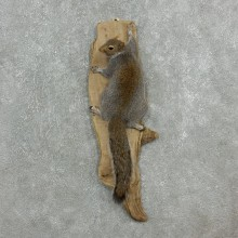 Grey Squirrel Life-Size Mount For Sale #18112 @ The Taxidermy Store