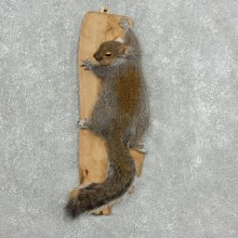 Grey Squirrel Life-Size Mount For Sale #18121 @ The Taxidermy Store