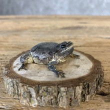 Grey Tree Frog Taxidermy Mount For Sale #21369 @ The Taxidermy Store