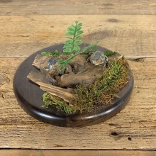 Grey Tree Frog Taxidermy Mount For Sale #21557 @ The Taxidermy Store