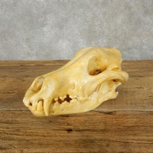 Wolf Skull Mount For Sale #17490 @ The Taxidermy Store