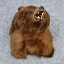 Grizzly Bear Shoulder Taxidermy Mount #13912 For Sale @ The Taxidermy Store