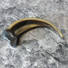Grizzly Bear Claw For Sale #19621 @ The Taxidermy Store