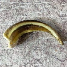 Grizzly Bear Claw For Sale #21904 @ The Taxidermy Store