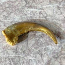 Grizzly Bear Claw For Sale #21910 @ The Taxidermy Store