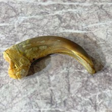 Grizzly Bear Claw For Sale #21911 @ The Taxidermy Store