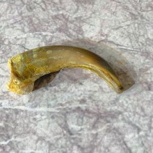 Grizzly Bear Claw For Sale #21912 @ The Taxidermy Store