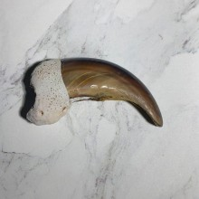 Grizzly Bear Claw For Sale #23764 - The Taxidermy Store